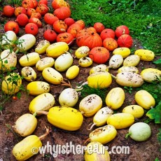 My squash harvest included 39 spaghetti squash, 41 Hubbards and 5 glorious butternut squash